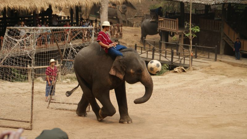 .ELEPHANT SHOW: Caught In action